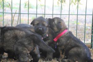 comme-chiens-et-loups0162