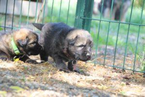 comme-chiens-et-loups0174