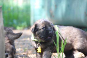 comme-chiens-et-loups0191