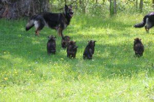 altdeutsche-schaferhund0001
