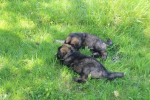 altdeutsche-schaferhund0002