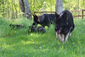 altdeutsche-schaferhund0008