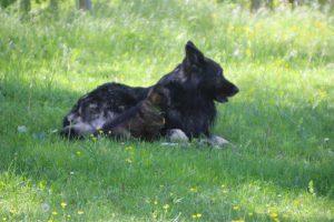 altdeutsche-schaferhund0015