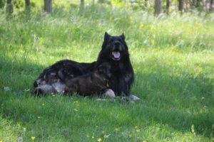 altdeutsche-schaferhund0016