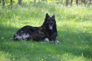 altdeutsche-schaferhund0017