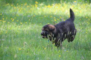 altdeutsche-schaferhund0018