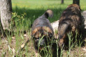 altdeutsche-schaferhund0025