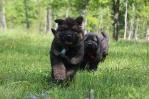 altdeutsche-schaferhund0048