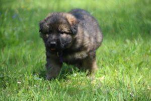altdeutsche-schaferhund0052