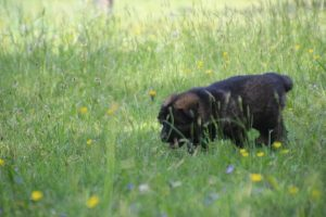 altdeutsche-schaferhund0053