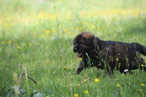 altdeutsche-schaferhund0054