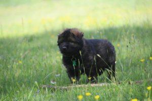 altdeutsche-schaferhund0059