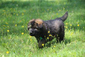 altdeutsche-schaferhund0061