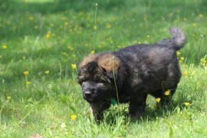 altdeutsche-schaferhund0062
