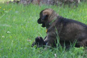 altdeutsche-schaferhund0064