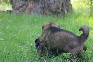 altdeutsche-schaferhund0065
