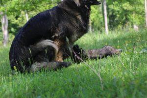 altdeutsche-schaferhund0089