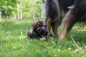 altdeutsche-schaferhund0101