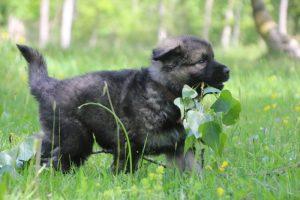 altdeutsche-schaferhund0109