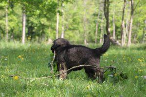 altdeutsche-schaferhund0113