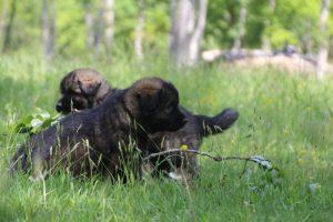 altdeutsche-schaferhund0120