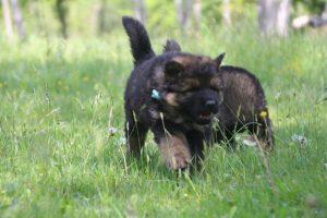altdeutsche-schaferhund0121