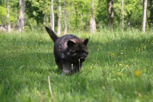 altdeutsche-schaferhund0123