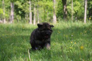 altdeutsche-schaferhund0124