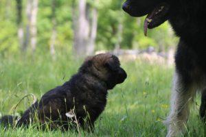 altdeutsche-schaferhund0125