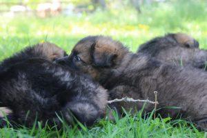 altdeutsche-schaferhund0131