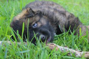 altdeutsche-schaferhund0136
