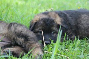 altdeutsche-schaferhund0141