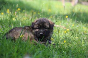 altdeutsche-schaferhund0142