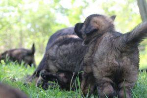 altdeutsche-schaferhund0147