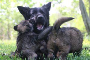 altdeutsche-schaferhund0148