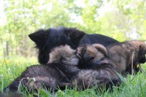altdeutsche-schaferhund0150