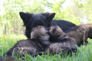 altdeutsche-schaferhund0151