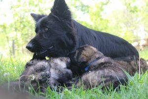 altdeutsche-schaferhund0153