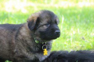altdeutsche-schaferhund0159