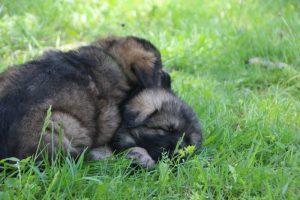 altdeutsche-schaferhund0162