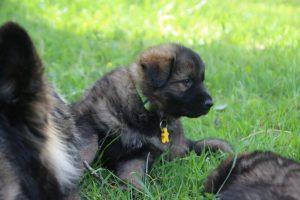 altdeutsche-schaferhund0163