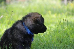altdeutsche-schaferhund0168