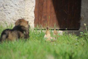 comme-chiens-et-loups0012