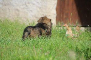 comme-chiens-et-loups0013