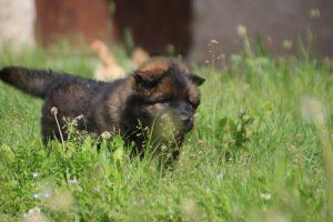 comme-chiens-et-loups0015
