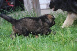 comme-chiens-et-loups0017