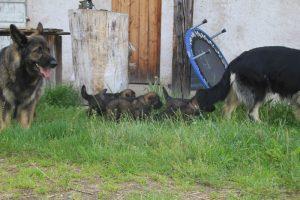 comme-chiens-et-loups0019
