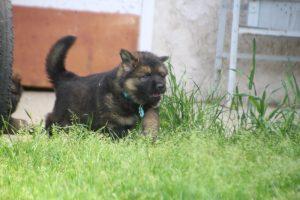 comme-chiens-et-loups0026
