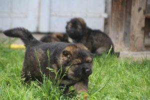 comme-chiens-et-loups0028