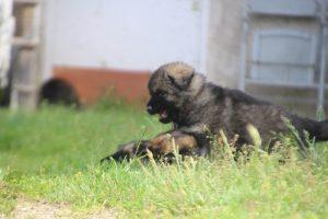 comme-chiens-et-loups0033
